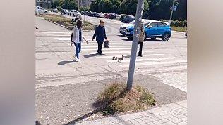 Умилительное видео: люди помогают утятам перейти дорогу