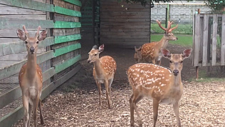 Пятнистые олени разговаривают с сотрудниками Челябинского зоопарка