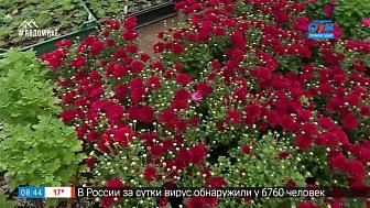 Руки садовода — как вырастит хризантемы