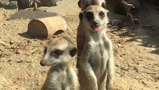 В Челябинском зоопарке выбрали имена малышам-сурикатам