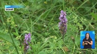 На Таганае распустились орхидеи