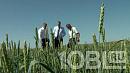 «Разворот Текслера»: губернатор осмотрел погибающие от засухи посевы в Агаповском районе