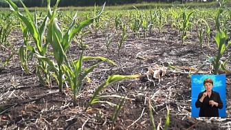 В регионе могут ввести ЧС по засухе