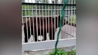 Видео медведя Малыша, который живет в клетке на трассе М-5