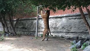 В Челябинском зоопарке отпраздновали Международный день тигра
