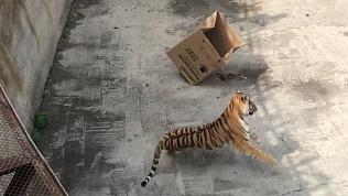 Амурские тигры открывают свои подарки: видео Челябинского зоопарка