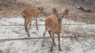 Видео оленят, которые подрастают в Челябинском зоопарке