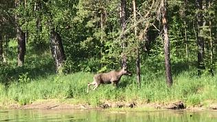 Лось попал на видео, когда гулял по Национальному парку Зюраткуль