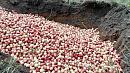 Четырнадцать тонн нектаринов с вредителем уничтожили в Челябинской области