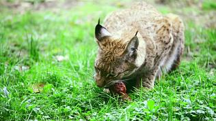 Карен Даллакян призвал запретить охоту на краснокнижную рысь в Челябинской области