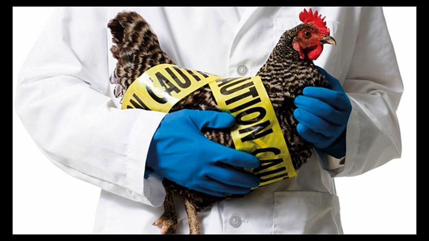 Стало известно, как птичий грипп попал в Увельский район