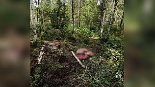 Лосиху с трехмесячным детенышем убили браконьеры на Южном Урале
