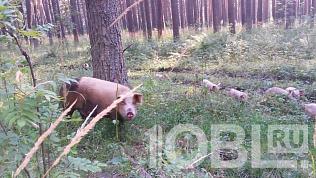«Дело в пятачках»: В Усть-Катаве свинья с поросятами перекапывают лес