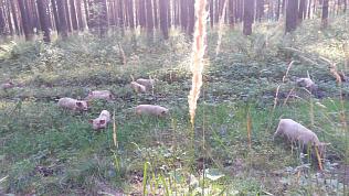 Поросята-грибники попали на видео в Усть-Катаве