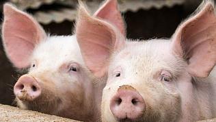 В Россельхознадзоре предупредили о возможной вспышке африканской чумы свиней