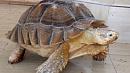 «Заслуживает большего»: черепаха за 150 тысяч рублей продается в Челябинске