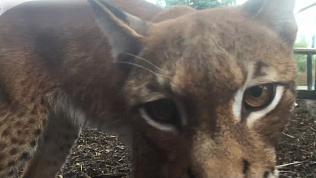 «Рысьи нежности»: видео из Челябинского зоопарка