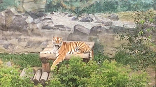 Амурская тигрца Лаффи точит когти: видео Челябинского зоопарка