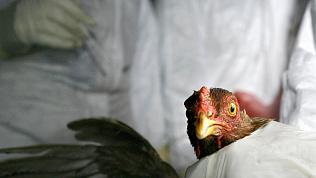 Трое южноуральцев отказались отдавать птицу в зоне распространения птичьего гриппа