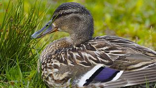 Южноуральских охотников просят соблюдать осторожность из-за гриппа птиц