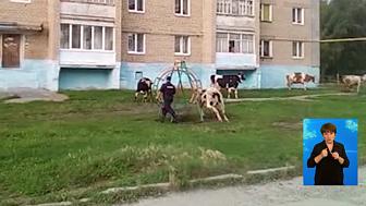 Корова напали на пенсионерку и полицейского