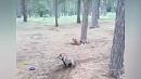 Зоозащитница устроила драку с хозяином волка в Челябинске