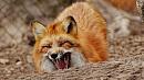 Двух бешеных лис обнаружили за неделю в Челябинской области