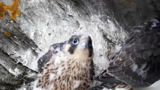Семейство сапсанов удалось снять на видео в Национальном парке «Таганай»