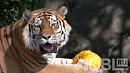 Питомцы зоопарка уже начали играть тыквами от челябинцев