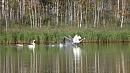 Лебеди поселились в устье реки Сак-Элги в Челябинской области