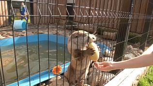 Выдры играют с тыквами и кабачками: видео Челябинского зоопарка
