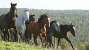 В Челябинской области неизвестный угнал табун лошадей