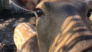 Пятнистые олени наслаждаются тёплой погодой: видео Челябинского зоопарка