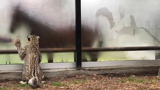 Охота снежного барса попала на видео в Челябинском зоопарке