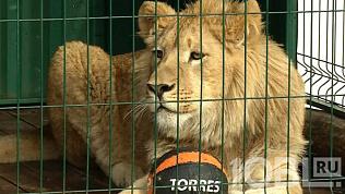 Львенка Симбу и леопарда Еву начали готовить к перелету в Танзанию