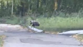 В детский лагерь вблизи Магнитогорска забрёл медведь