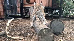 Рысь-футболист тренируется в Челябинском зоопарке