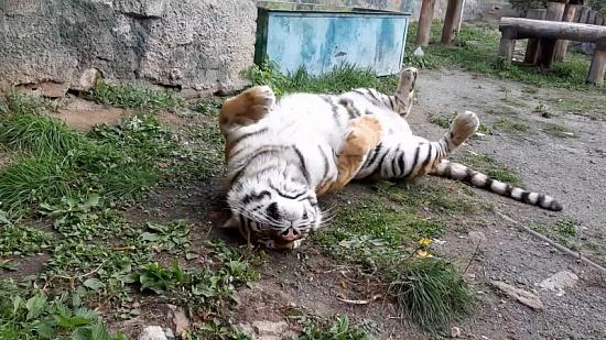 В Челябинском зоопарке засняли расслабленную амурскую тигрицу