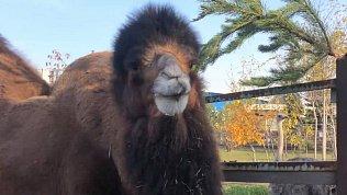 Верблюдов в Челябинском зоопарке угостили свежими соснами