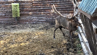«Скрип ржавых ворот» издает марал в Челябинском зоопарке