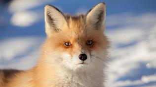 В национальном парке «Таганай» привили лисиц