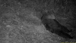 Отдыхающий медведь попал в объектив фотоловушки на Таганае
