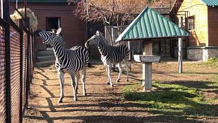 «Анри, не мешай!»: зебры челябинского зоопарка мешают убираться в вольере