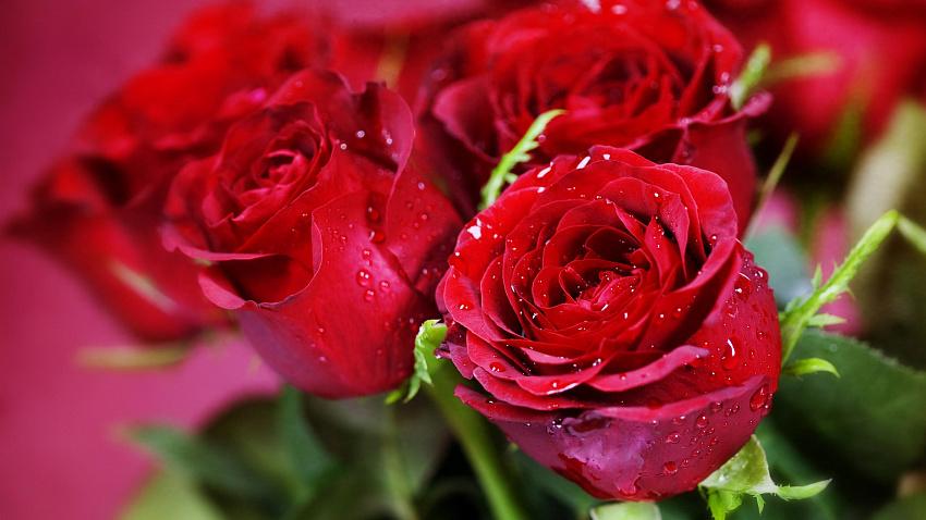 Букет роз в подарок на День матери: выбираем самые красивые и свежие цветы