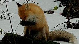 Умывающуюся лисицу засняли в национальном парке «Таганай»