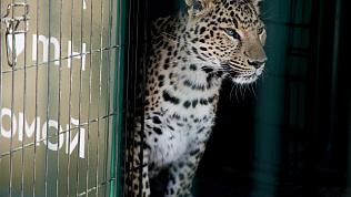 Со слезами на глазах: Карен Даллакян прощается со львенком Симбой и леопардом Евой