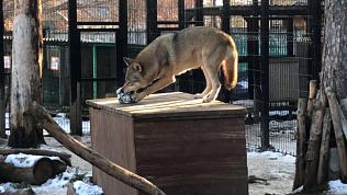 Футбол по волчьим правилам: видео из Челябинского зоопарка