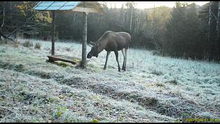Лося сняли на видео в Национальном парке «Таганай»