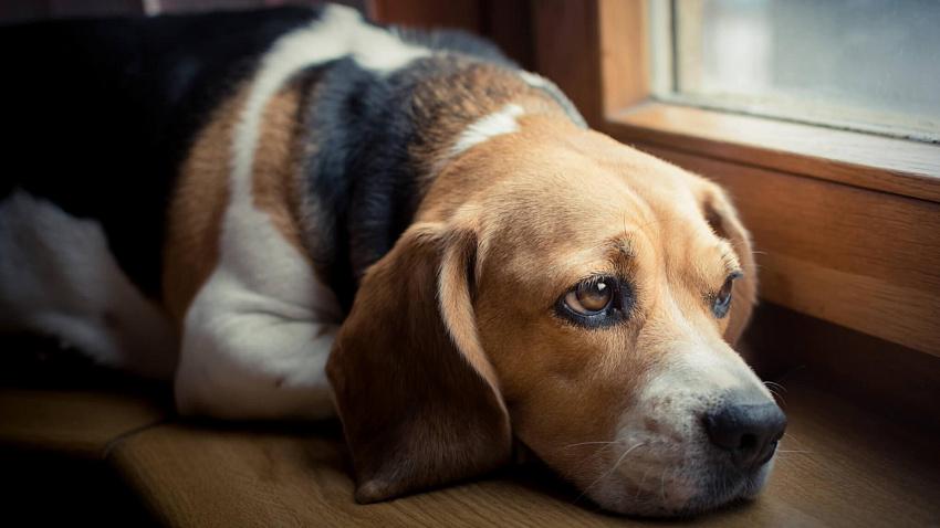 Симптомы и лечение вирусного энтерита у собак