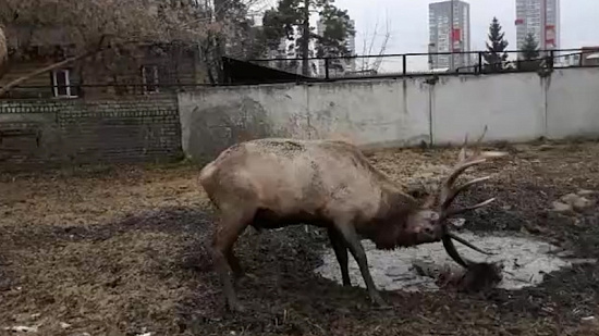 Марал показал на видео, зачем нужны большие рога
